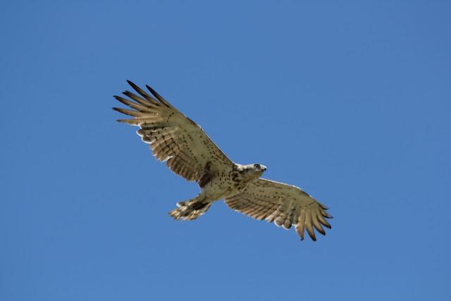 turismo de natureza a Cabreira e no Geres norte bird watching observação de aves