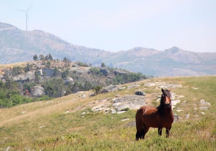 turismo de natureza cavalos selvagens na serra da cabreira
