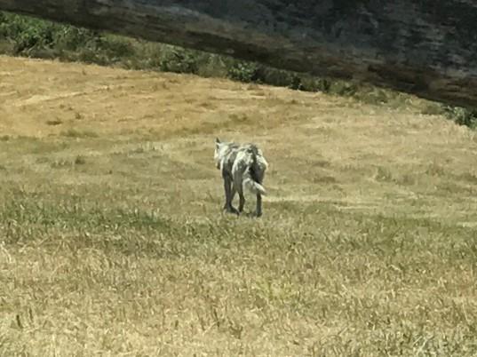rewilding e eco turismo sustentável - lobos na serra da cabreira